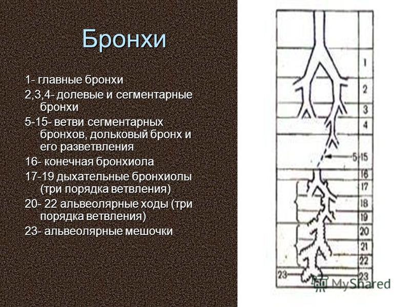 Бронхи 1- главные бронхи 2,3,4- долевые и сегментарные бронхи 5-15- ветви сегментарных бронхов, дольковый бронх и его разветвления 16- конечная бронхиола 17-19 дыхательные бронхиолы (три порядка ветвления) 20- 22 альвеолярные ходы (три порядка ветвле