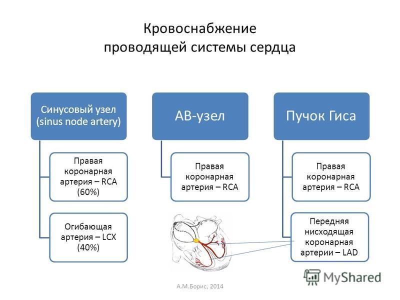 Синусовый узел (sinus node artery) Правая коронарная артерия – RCA (60%) Огибающая артерия – LCX (40%) AB-узел Правая коронарная артерия – RCA Пучок Гиса Правая коронарная артерия – RCA Передняя нисходящая коронарная артерии – LAD Кровоснабжение пров