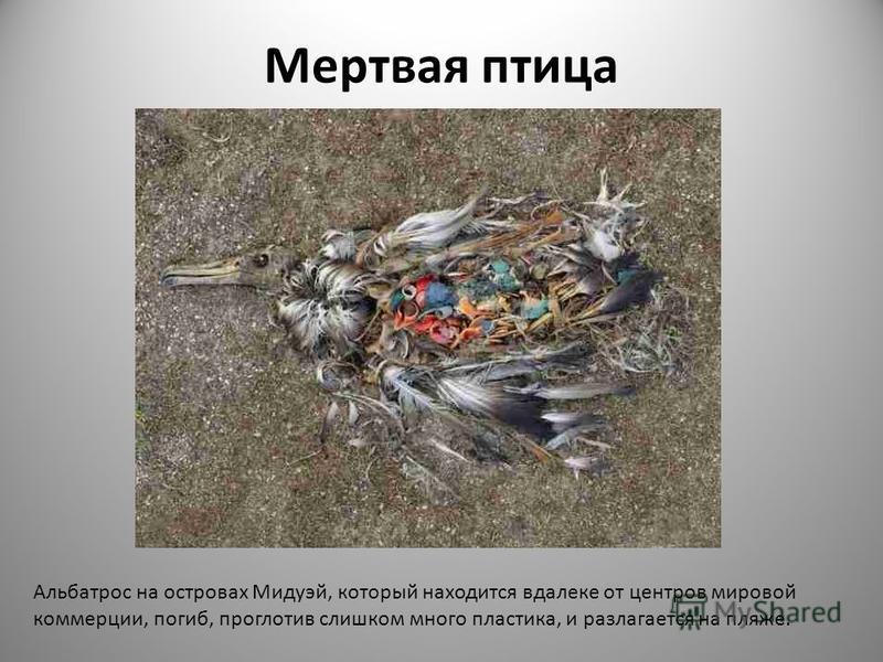 Мертвая птица Альбатрос на островах Мидуэй, который находится вдалеке от центров мировой коммерции, погиб, проглотив слишком много пластика, и разлагается на пляже.