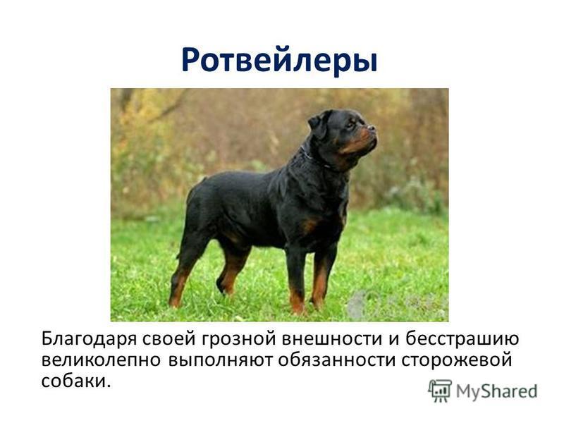 Ротвейлеры Благодаря своей грозной внешности и бесстрашию великолепно выполняют обязанности сторожевой собаки.