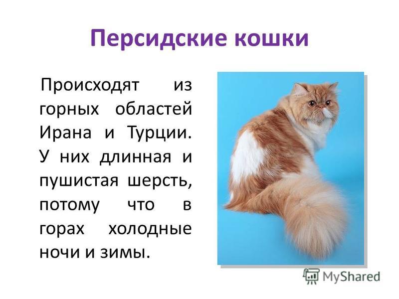 Персидские кошки Происходят из горных областей Ирана и Турции. У них длинная и пушистая шерсть, потому что в горах холодные ночи и зимы.