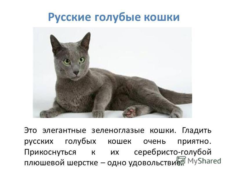 Русские голубые кошки Это элегантные зеленоглазые кошки. Гладить русских голубых кошек очень приятно. Прикоснуться к их серебристо-голубой плюшевой шерстке – одно удовольствие.