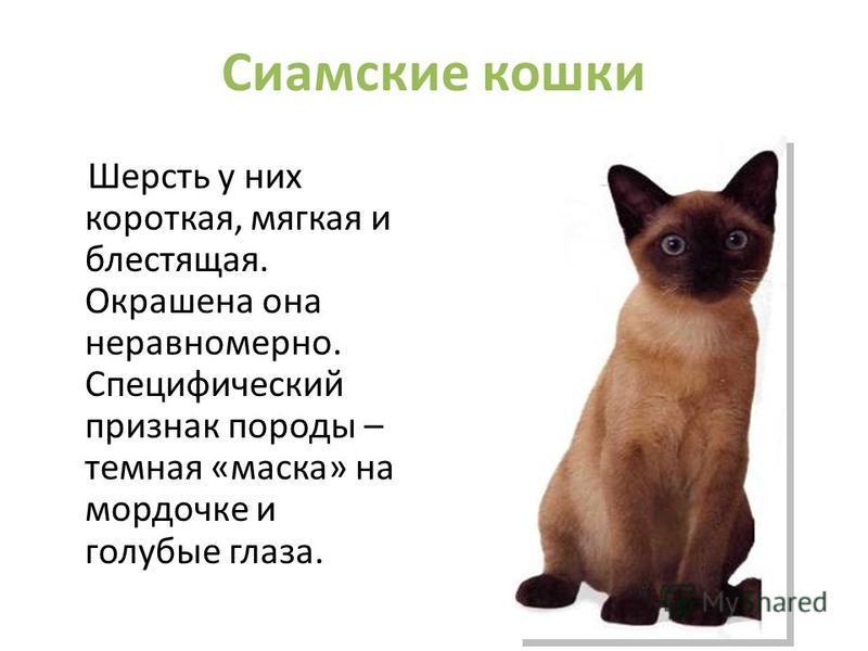 Сиамские кошки Шерсть у них короткая, мягкая и блестящая. Окрашена она неравномерно. Специфический признак породы – темная «маска» на мордочке и голубые глаза.