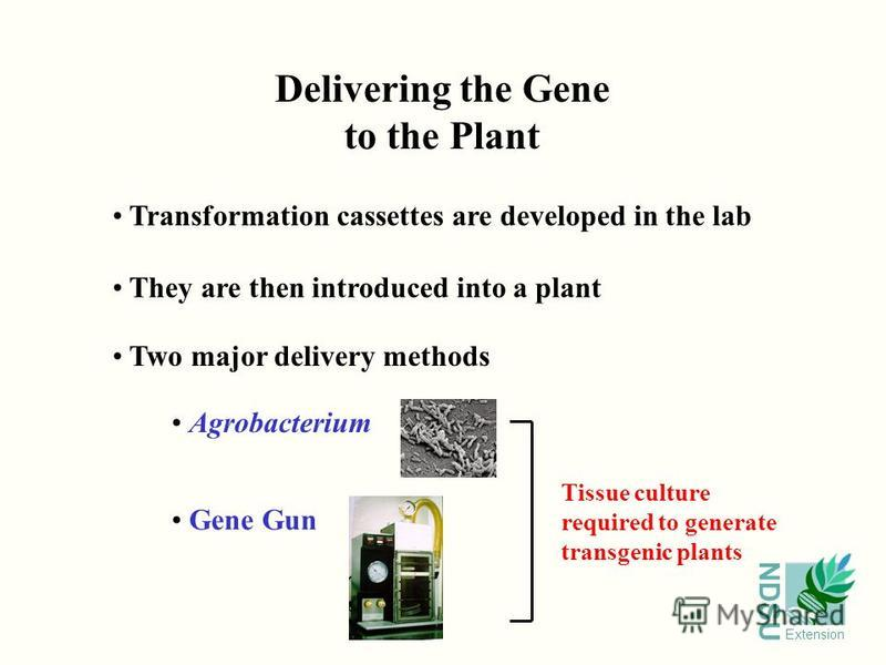 NDSU Extension Transformation cassettes are developed in the lab They are then introduced into a plant Two major delivery methods Delivering the Gene to the Plant Agrobacterium Gene Gun Tissue culture required to generate transgenic plants