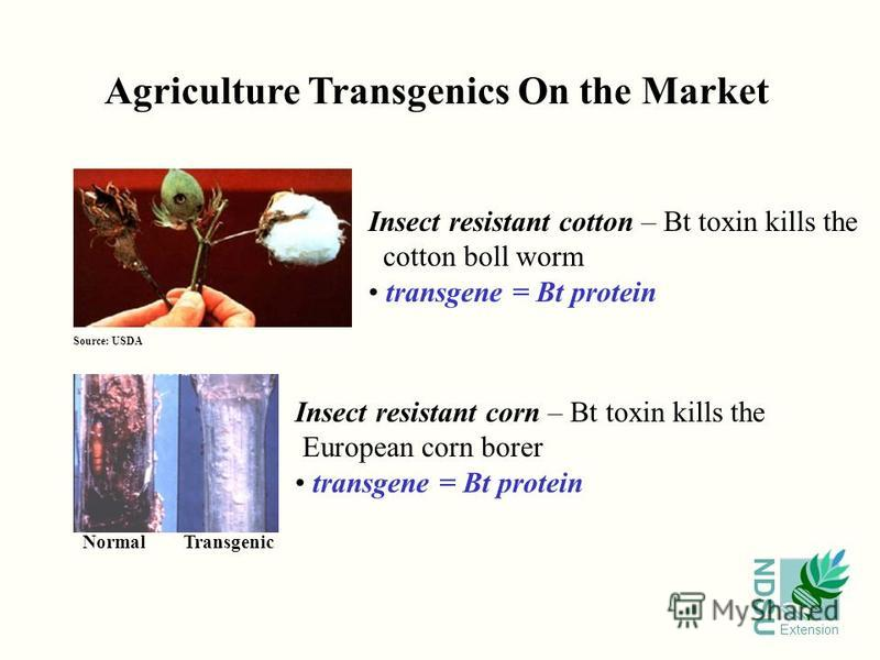 NDSU Extension Agriculture Transgenics On the Market Source: USDA Insect resistant cotton – Bt toxin kills the cotton boll worm transgene = Bt protein Insect resistant corn – Bt toxin kills the European corn borer transgene = Bt protein NormalTransge