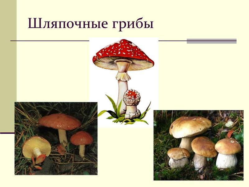 Грибы. Гетеротрофное питание; Неограниченный рост; Запасное вещество – гликоген; Не передвигаются; Тело из грибницы.