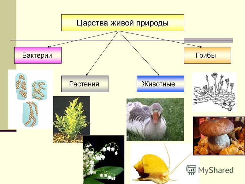 организмы Прокариоты – не имеют ядра в клетке Бактерии Эукариоты – имеют ядро в клетке Растения Животные Грибы