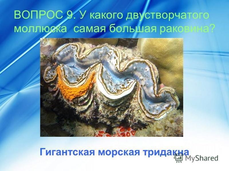 ВОПРОС 9. У какого двустворчатого моллюска самая большая раковина? Гигантская морская тридакна