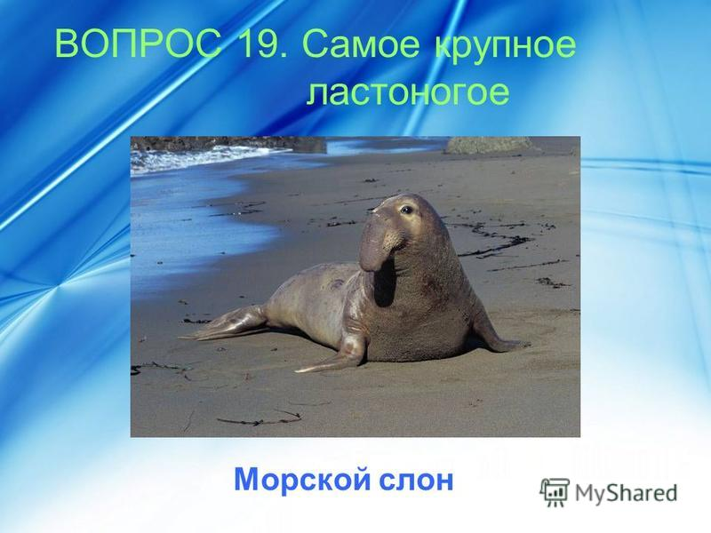 ВОПРОС 19. Самое крупное ластоногое Морской слон