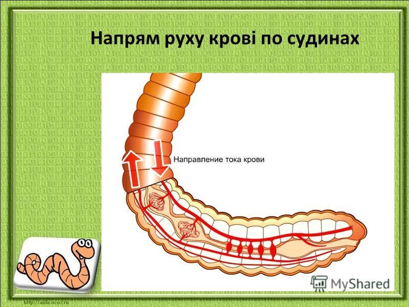 Напрям руху крові по судинах