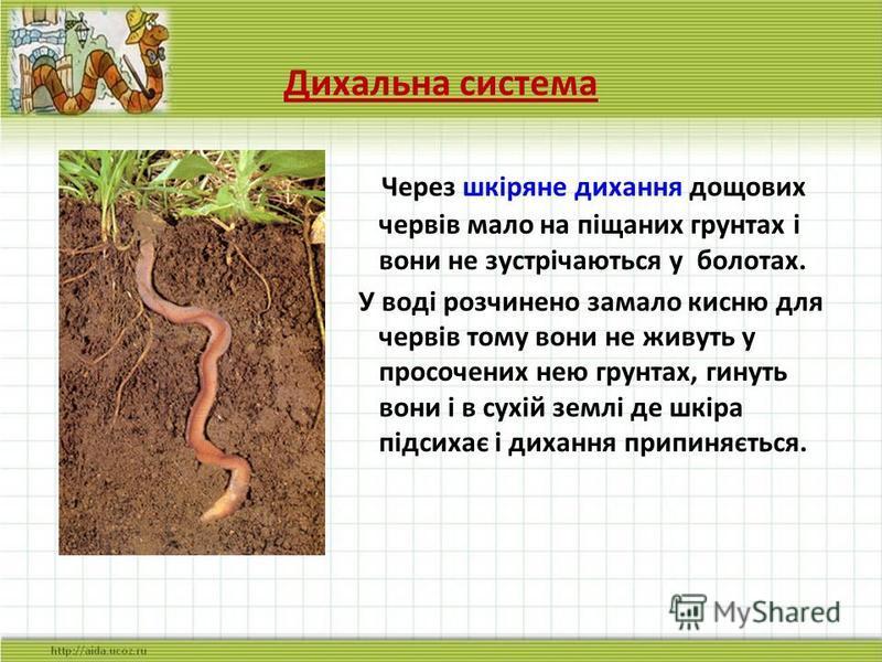 Дихальна система Через шкіряне дихання дощових червів мало на піщаних грунтах і вони не зустрічаються у болотах. У воді розчинено замало кисню для червів тому вони не живуть у просочених нею грунтах, гинуть вони і в сухій землі де шкіра підсихає і ди