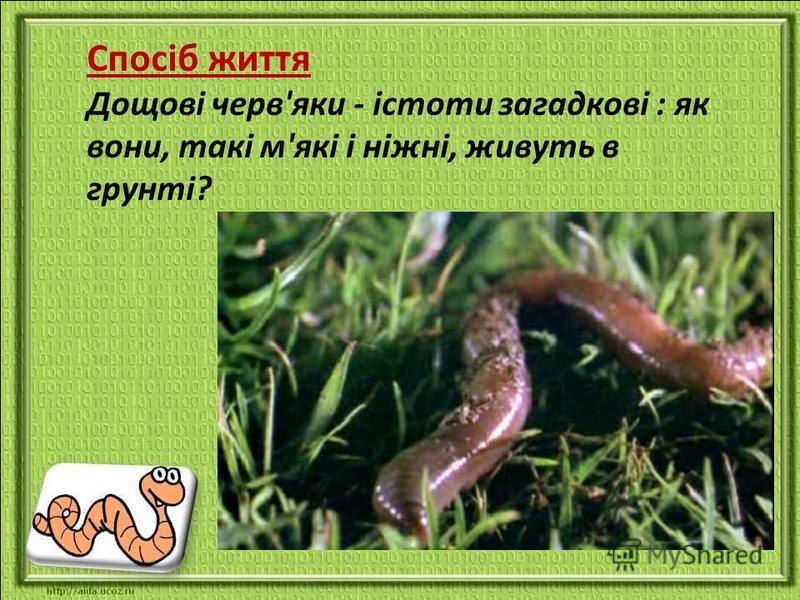 Спосіб життя Дощові черв'яки - істоти загадкові : як вони, такі м'які і ніжні, живуть в грунті?