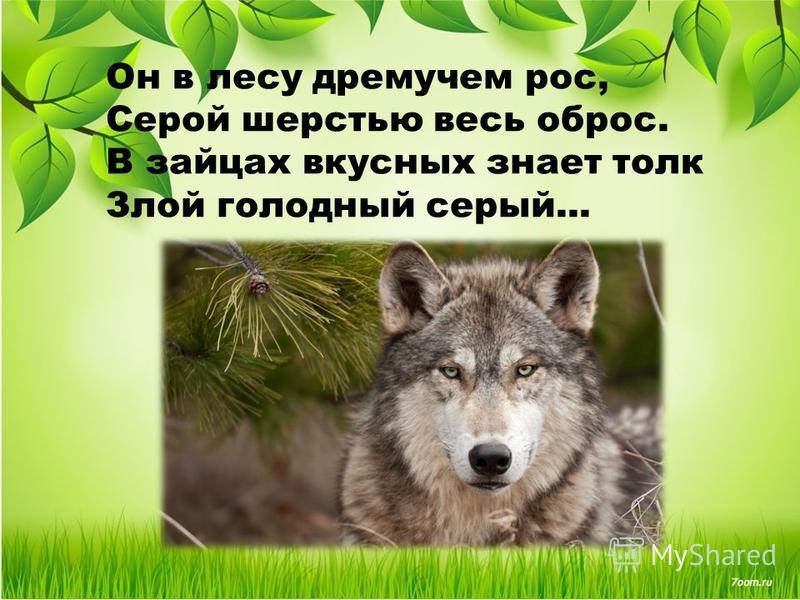 Он в лесу дремучем рос, Серой шерстью весь оброс. В зайцах вкусных знает толк Злой голодный серый...