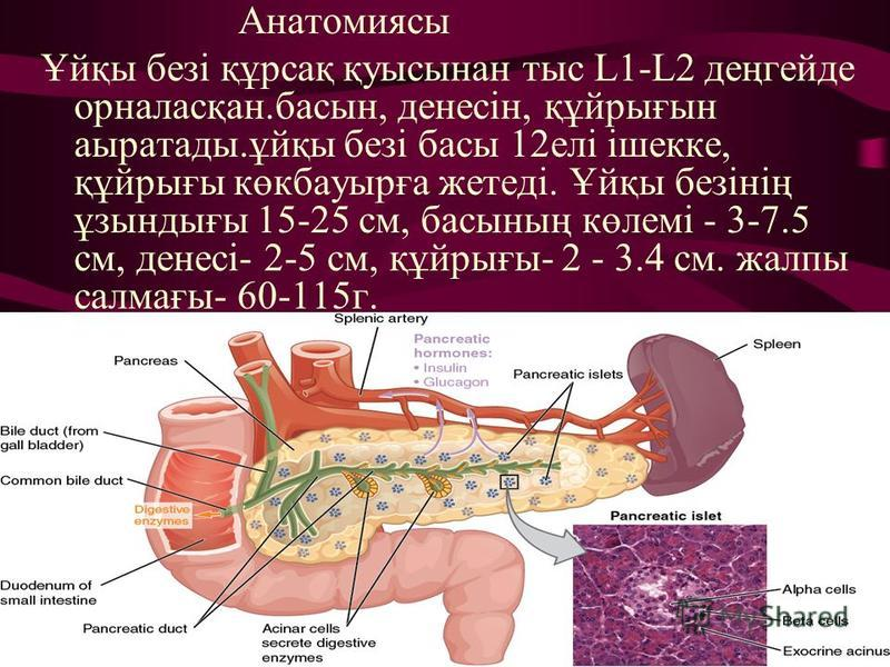 Анатомиясы Ұйқы безі құрсақ қуысынан тыс L1-L2 деңгейде орналасқан.басын, денесін, құйрығын аыратады.ұйқы безі басы 12елі ішекке, құйрығы көкбауырға жетеді. Ұйқы безінің ұзындығы 15-25 см, басының көлемі - 3-7.5 см, денесі- 2-5 см, құйрығы- 2 - 3.4 с