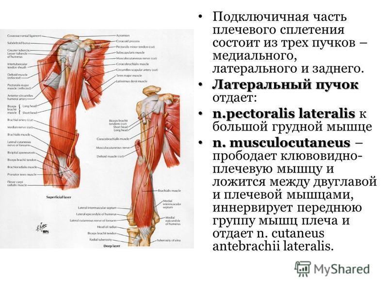 Подключичная часть плечевого сплетения состоит из трех пучков – медиального, латерального и заднего. Латеральный пучок Латеральный пучок отдает: n.pectoralis lateralis n.pectoralis lateralis к большой грудной мышце n. musculocutaneus n. musculocutane