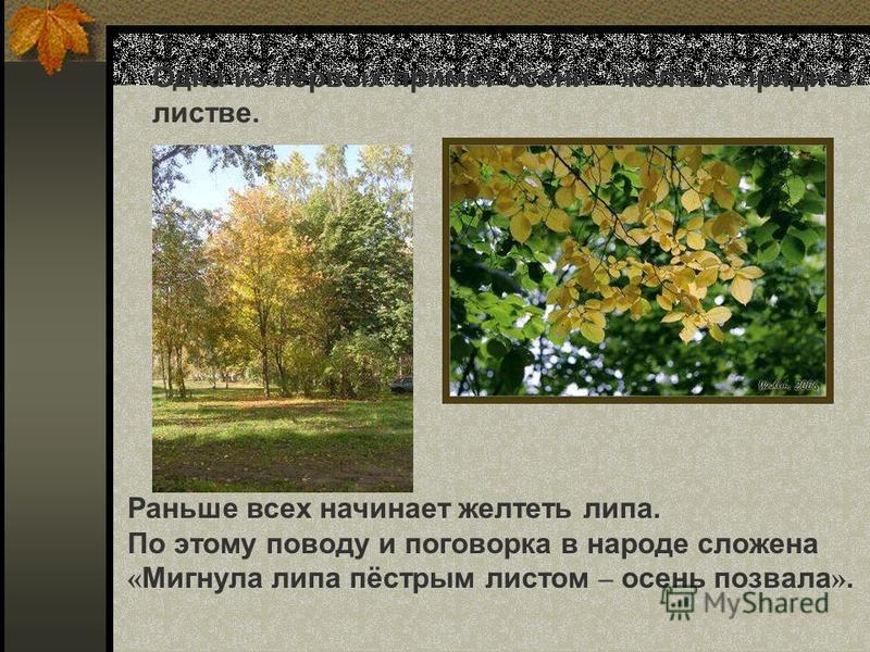 Одна из первых примет осени – жёлтые пряди в листве. Раньше всех начинает желтеть липа. По этому поводу и поговорка в народе сложена « Мигнула липа пёстрым листом – осень позвала ». Одна из первых примет осени – жёлтые пряди в листве. Раньше всех нач