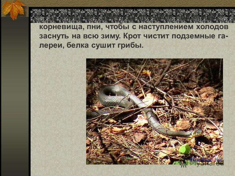 Ужи, змеи, лягушки прячутся под камни, корневища, пни, чтобы с наступлением холодов заснуть на всю зиму. Крот чистит подземные галереи, белка сушит грибы. Ужи, змеи, лягушки прячутся под камни, корневища, пни, чтобы с наступлением холодов заснуть на