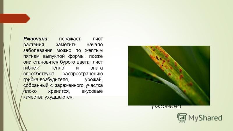 ржавчина Ржавчина поражает лист растения, заметить начало заболевания можно по желтым пятнам выпуклой формы, позже они становятся бурого цвета, лист гибнет. Тепло и влага способствуют распространению грибка-возбудителя, урожай, собранный с зараженног