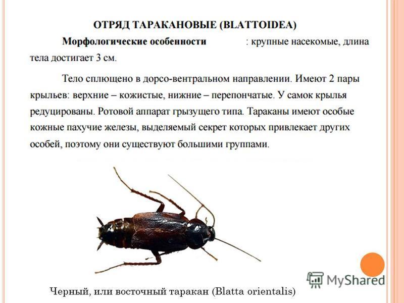 Черный, или восточный таракан (Blatta orientalis)