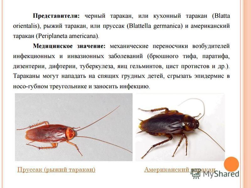 Пруссак (рыжий таракан)Пруссак (рыжий таракан) Американский таракан Американский таракан