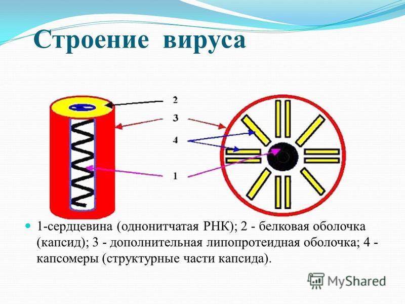 Строение вируса 1-сердцевина (однонитчатая РНК); 2 - белковая оболочка (капсид); 3 - дополнительная липопротеидная оболочка; 4 - капсомеры (структурные части капсида).