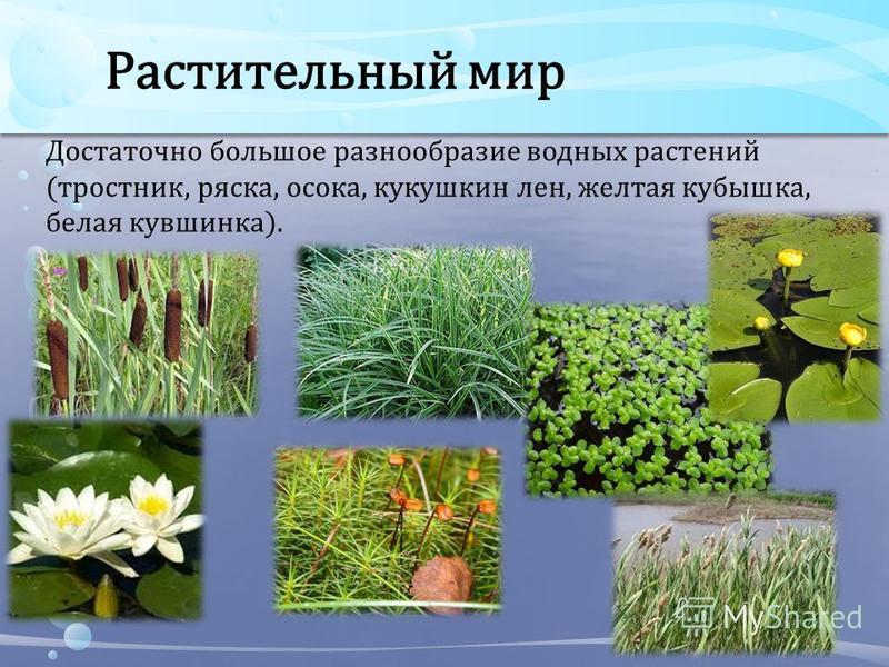 Растительный мир Достаточно большое разнообразие водных растений (тростник, ряска, осока, кукушкин лен, желтая кубышка, белая кувшинка).