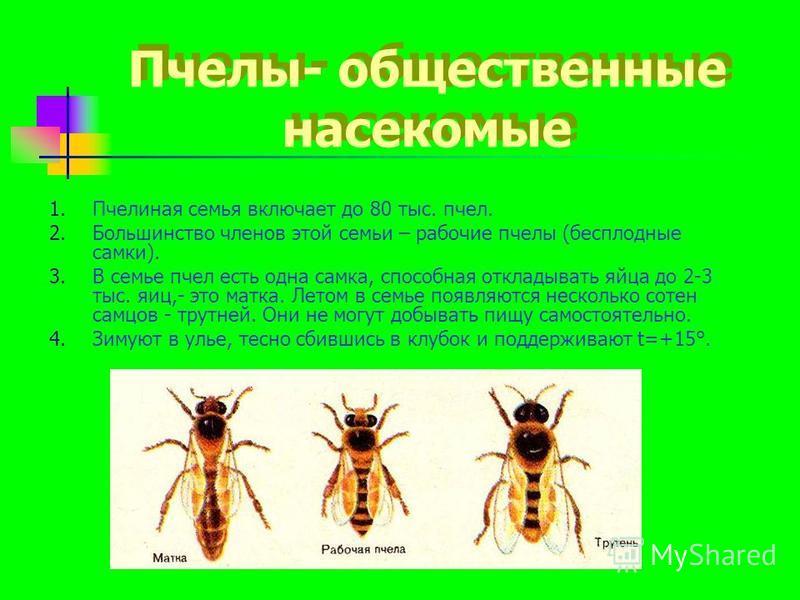 Пчелы- общественные насекомые 1. Пчелиная семья включает до 80 тыс. пчел. 2. Большинство членов этой семьи – рабочие пчелы (бесплодные самки). 3. В семье пчел есть одна самка, способная откладывать яйца до 2-3 тыс. яиц,- это матка. Летом в семье появ