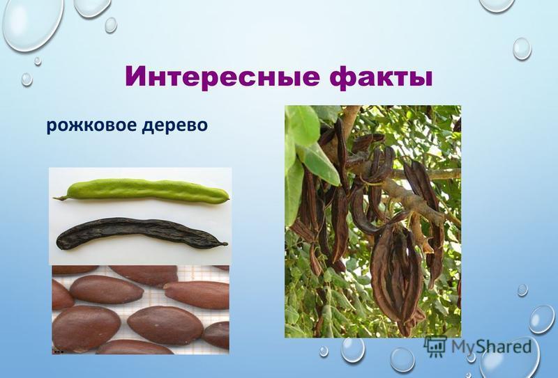 Интересные факты рожковое дерево