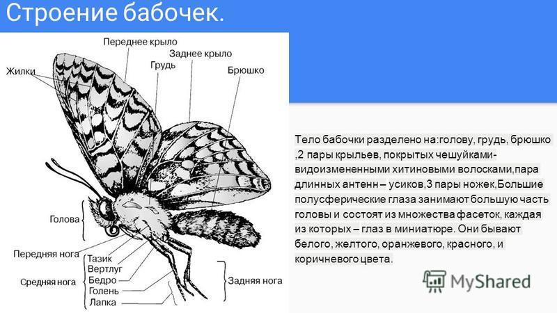 Строение бабочек. Тело бабочки разделено на:голову, грудь, брюшко,2 пары крыльев, покрытых чешуйками- видоизмененными хитиновыми волосками,пара длинных антенн – усиков,3 пары ножек,Большие полусферические глаза занимают большую часть головы и состоят