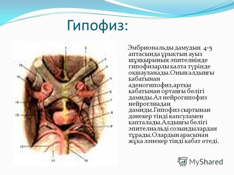 Гипофиз: Эмбриональды дамуды ң 4-5 аптасында ұ ры қ ты ң ауфиз ш ұңқ ирины ң эпителиінде гипофизарлы қ алтай т ү рінде о қ шауланады.Оны ң аллоды ңғ ы қ аббатынан аденогипофиз,арт қ ы қ аббатынан орта ңғ ы б ө лігі демиды.Ал нейрогипофиз нейроглиадан