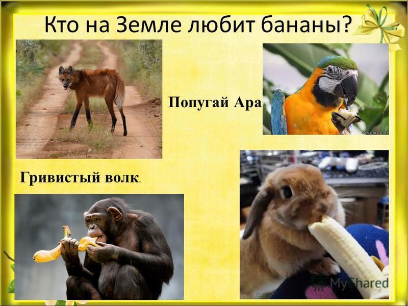 Кто на Земле любит бананы? Гривистый волк. Попугай Ара