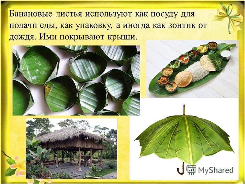 Банановые листья используют как посуду для подачи еды, как упаковку, а иногда как зонтик от дождя. Ими покрывают крыши.
