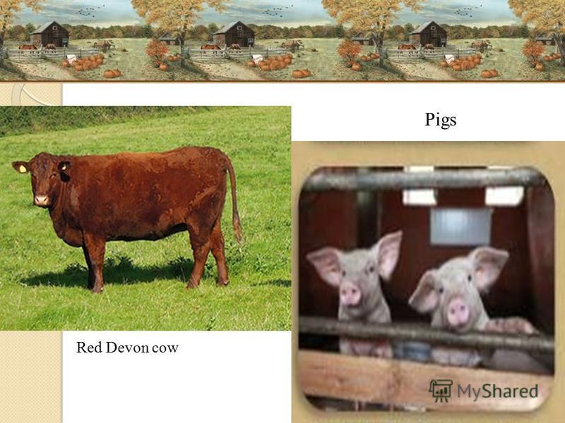 Red Devon cow Pigs