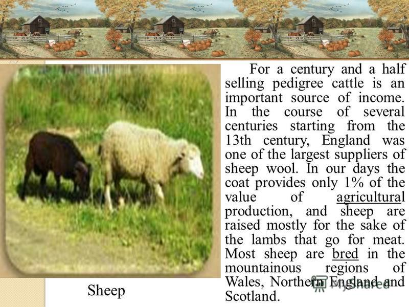 For a century and a half selling pedigree cattle is an important source of income. In the course of several centuries starting from the 13th century, England was one of the largest suppliers of sheep wool. In our days the coat provides only 1% of the
