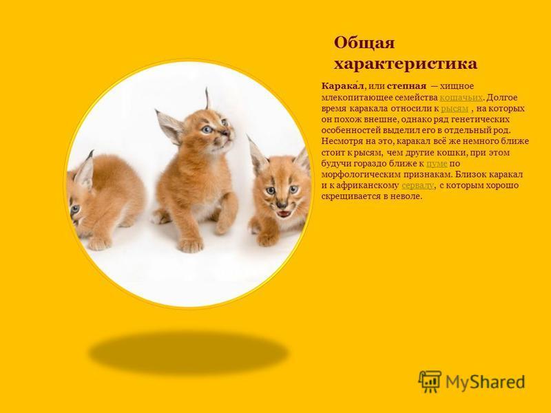Общая характеристика Каракал, или степная хищное млекопитающее семейства кошачьих. Долгое время каракала относили к рысям, на которых он похож внешне, однако ряд генетических особенностей выделил его в отдельный род. Несмотря на это, каракал всё же н