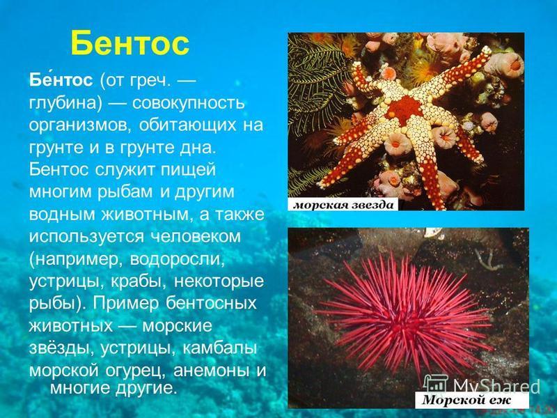 Бентос Бе́нтос (от греч. глубина) совокупность организмов, обитающих на грунте и в грунте дна. Бентос служит пищей многим рыбам и другим водным животным, а также используется человеком (например, водоросли, устрицы, крабы, некоторые рыбы). Пример бен
