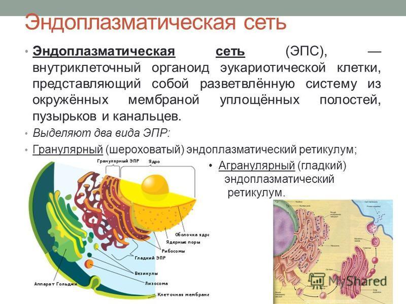 Эндоплазматическая сеть Эндоплазматическая сеть (ЭПС), внутриклеточный органоид эукариотической клетки, представляющий собой разветвлённую систему из окружённых мембраной уплощённых полостей, пузырьков и канальцев. Выделяют два вида ЭПР: Гранулярный