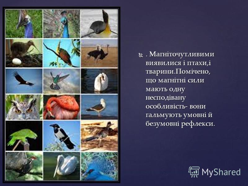 . Магніточутливими виявилися і птахи,і тварини.Помічено, що магнітні сили мають одну несподівану особливість- вони гальмують умовні й безумовні рефлекси.. Магніточутливими виявилися і птахи,і тварини.Помічено, що магнітні сили мають одну несподівану