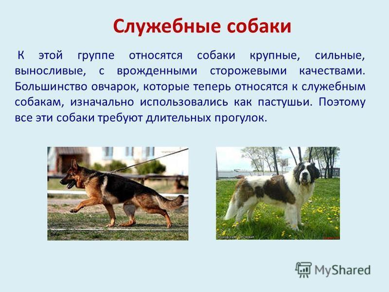 Служебные собаки К этой группе относятся собаки крупные, сильные, выносливые, с врожденными сторожевыми качествами. Большинство овчарок, которые теперь относятся к служебным собакам, изначально использовались как пастушьи. Поэтому все эти собаки треб