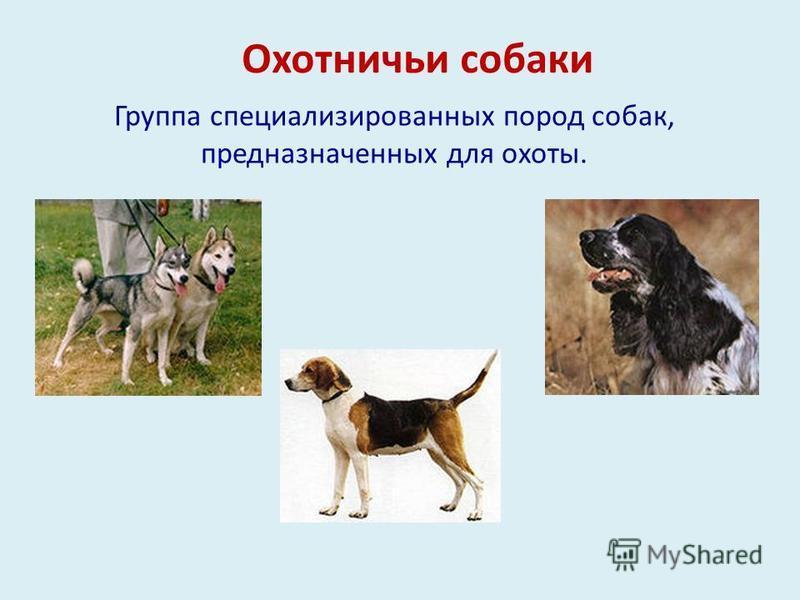 Охотничьи собаки Группа специализированных пород собак, предназначенных для охоты.