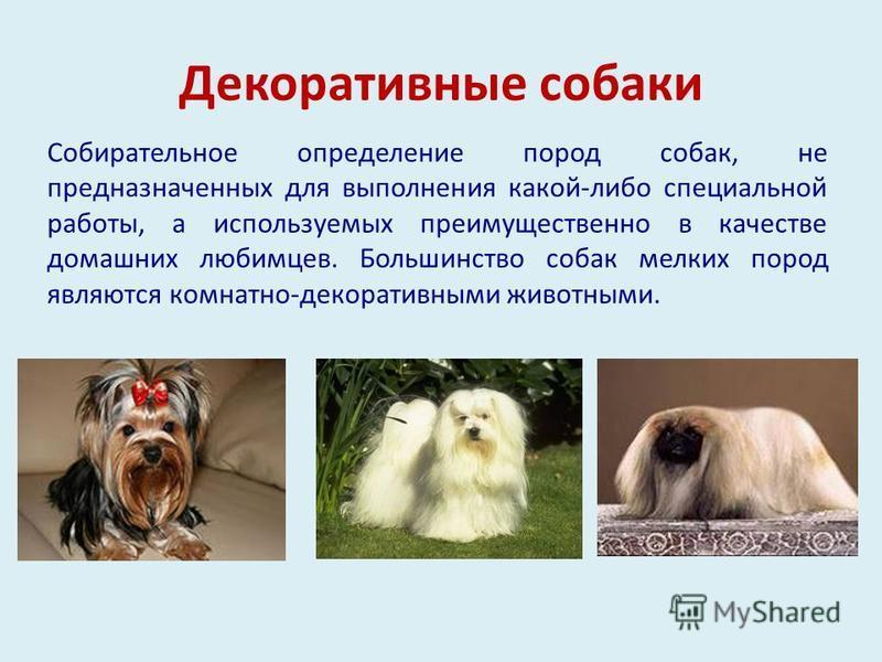 Декоративные собаки Собирательное определение пород собак, не предназначенных для выполнения какой-либо специальной работы, а используемых преимущественно в качестве домашних любимцев. Большинство собак мелких пород являются комнатно-декоративными жи
