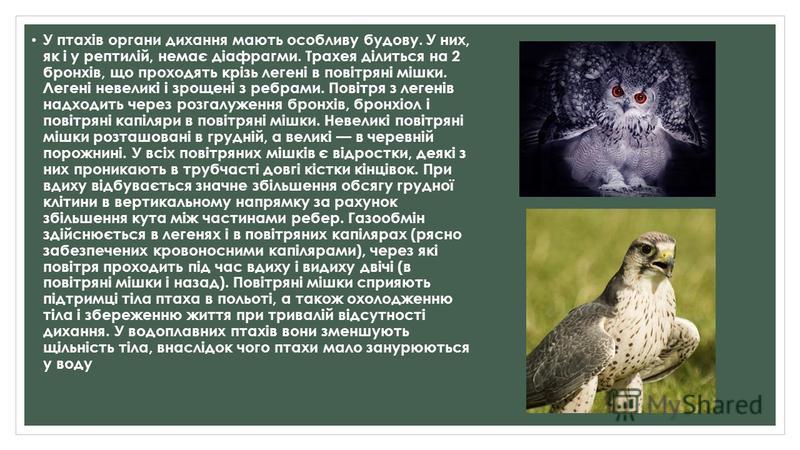 У птахів органи дихання мають особливу будову. У них, як і у рептилій, немає діафрагми. Трахея ділиться на 2 бронхів, що проходять крізь легені в повітряні мішки. Легені невеликі і зрощені з ребрами. Повітря з легенів надходить через розгалуження бро