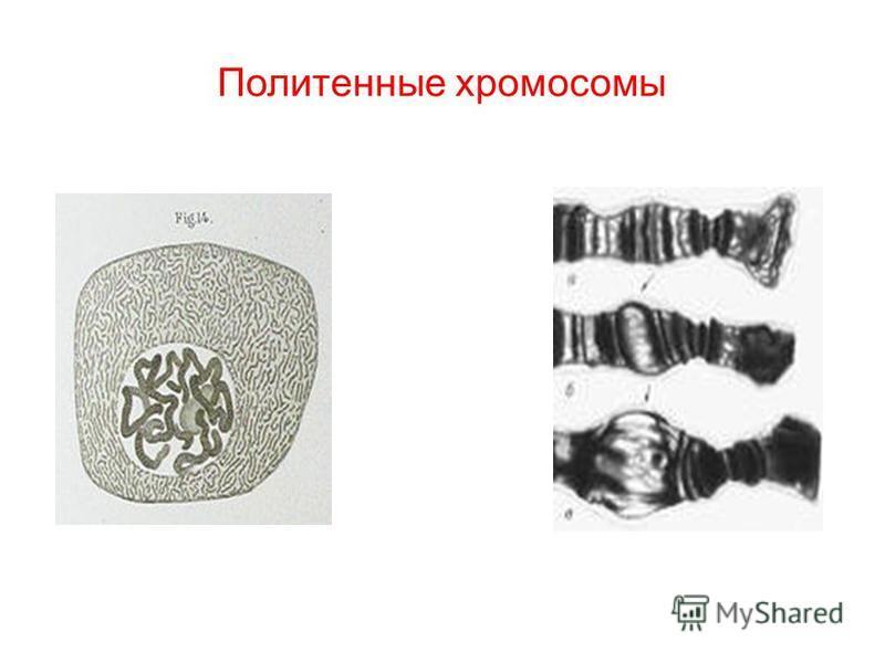 Политенные хромосомы