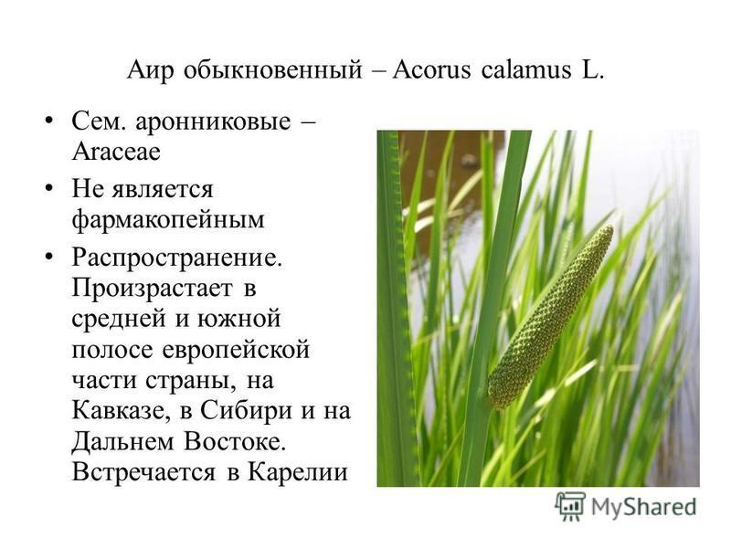 Аир обыкновенный – Acorus calamus L. Сем. аронниковые – Araceae Не является фармакопейным Распространение. Произрастает в средней и южной полосе европейской части страны, на Кавказе, в Сибири и на Дальнем Востоке. Встречается в Карелии