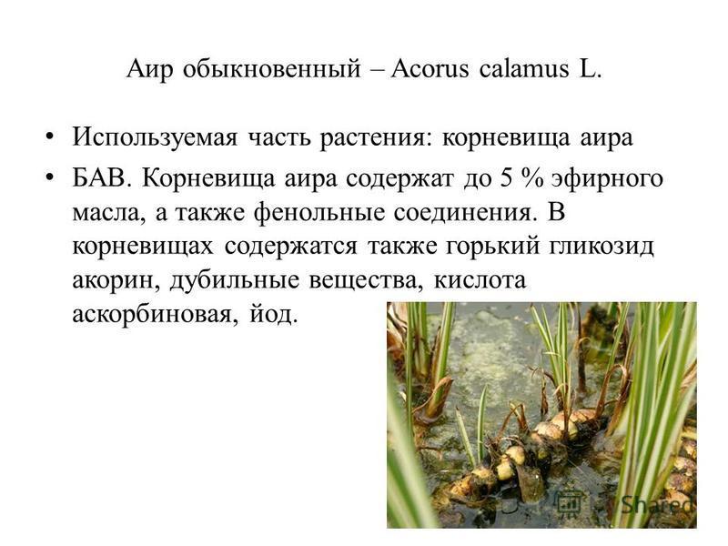 Аир обыкновенный – Acorus calamus L. Используемая часть растения: корневища аира БАВ. Корневища аира содержат до 5 % эфирного масла, а также фенольные соединения. В корневищах содержатся также горький гликозид акарин, дубильные вещества, кислота аско