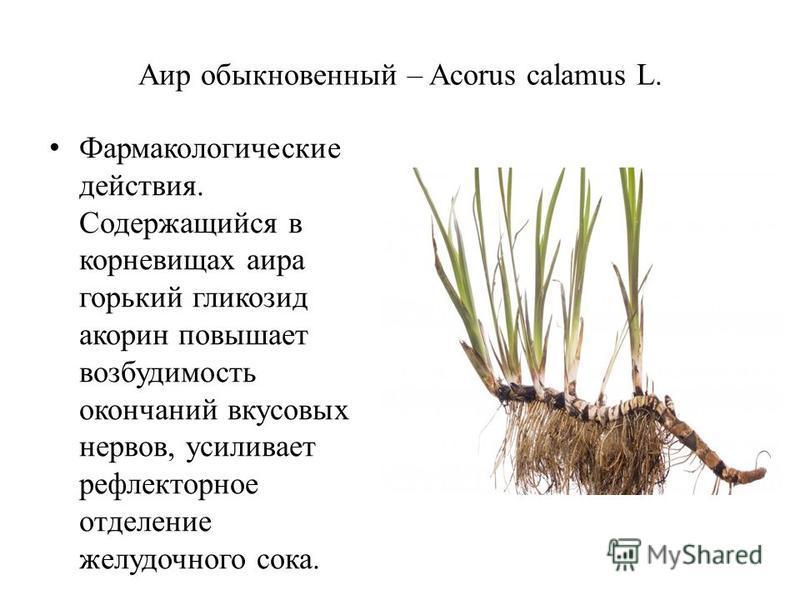 Аир обыкновенный – Acorus calamus L. Фармакологические действия. Содержащийся в корневищах аира горький гликозид акарин повышает возбудимость окончаний вкусовых нервов, усиливает рефлекторное отделение желудочного сока.
