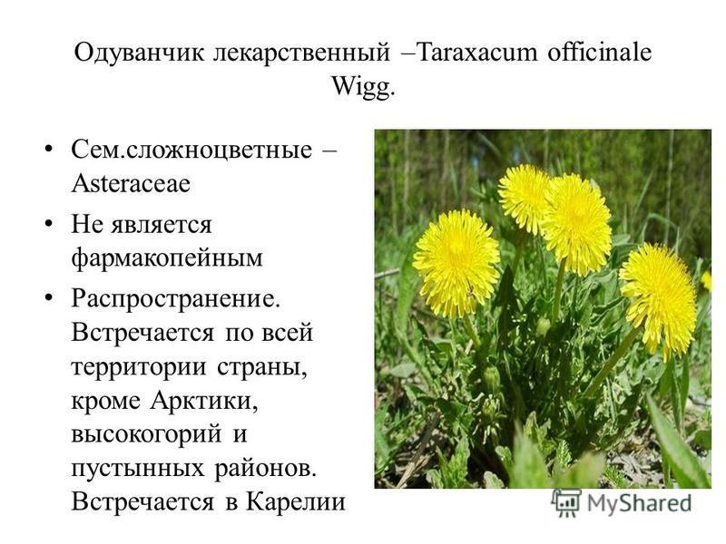 Одуванчик лекарственный –Taraxacum officinale Wigg. Сем.сложноцветные – Asteraceae Не является фармакопейным Распространение. Встречается по всей территории страны, кроме Арктики, высокогорий и пустынных районов. Встречается в Карелии