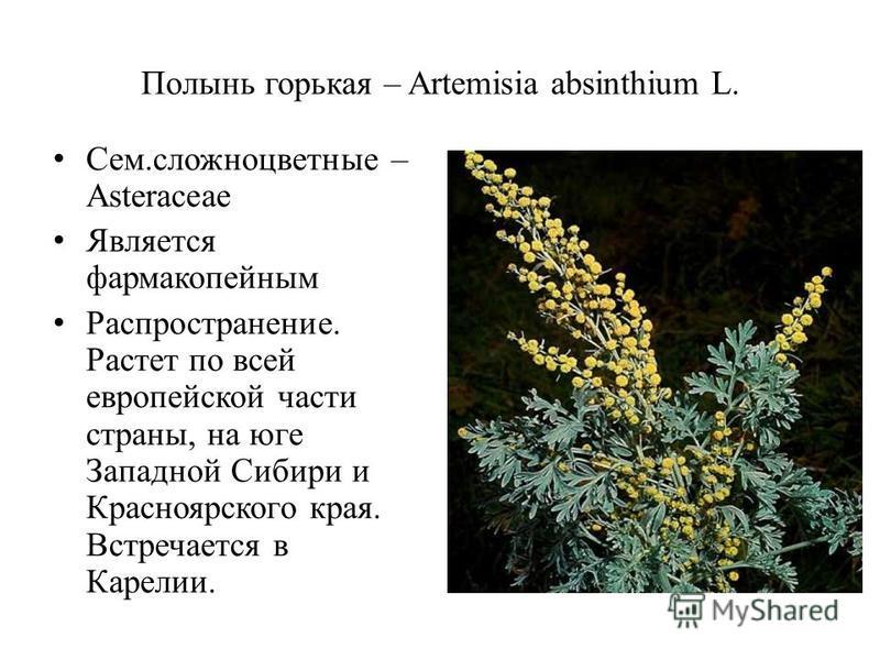 Полынь горькая – Artemisia absinthium L. Сем.сложноцветные – Asteraceae Является фармакопейным Распространение. Растет по всей европейской части страны, на юге Западной Сибири и Красноярского края. Встречается в Карелии.