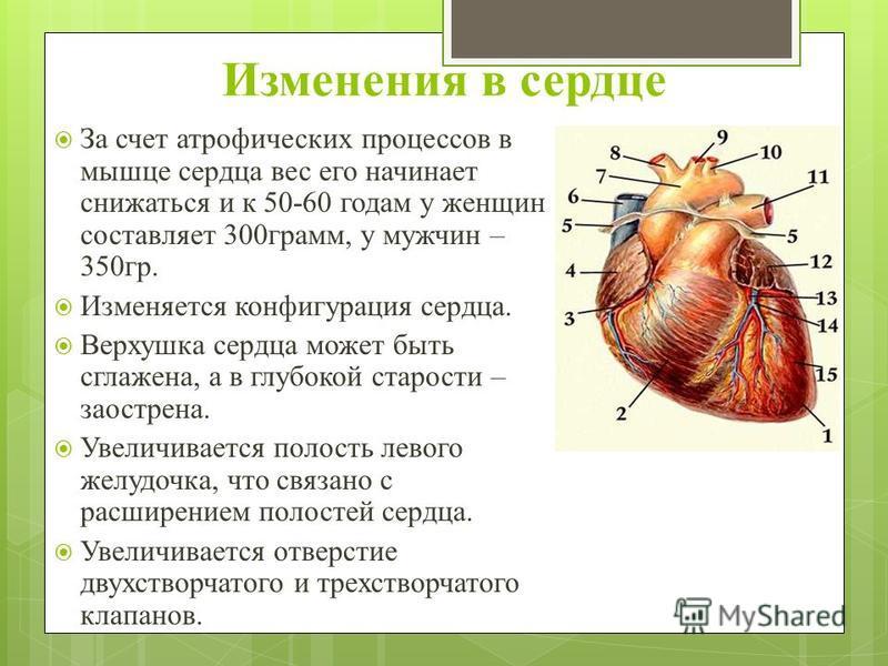 Изменения в сердце За счет атрофических процессов в мышце сердца вес его начинает снижаться и к 50-60 годам у женщин составляет 300 грамм, у мужчин – 350 гр. Изменяется конфигурация сердца. Верхушка сердца может быть сглажена, а в глубокой старости –