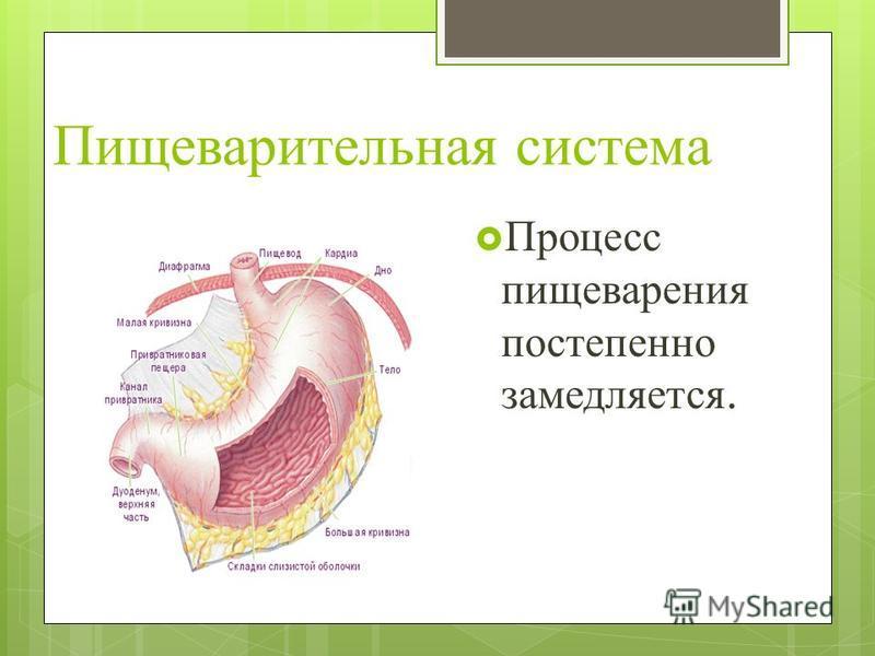 Пищеварительная система Процесс пищеварения постепенно замедляется.